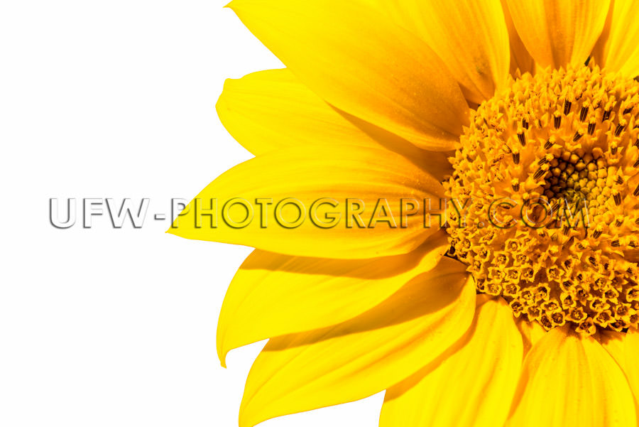 Beautiful sunflower blossom macro isolated high resolution XXL S