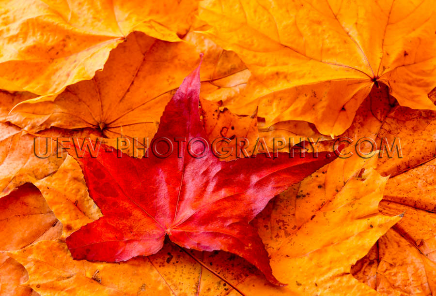 Beautiful vivid colored red golden autumn leaves full frame back