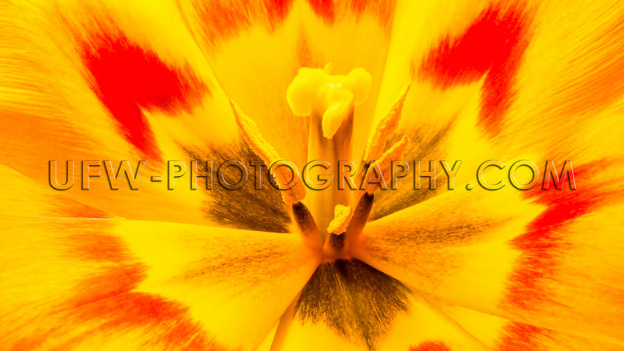 Awesome tulip flower head blossom petal stamen vivid colors Stoc