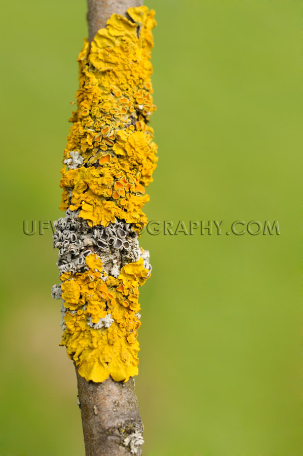 Yellow and gray lichen on a twig, macro, natural pattern - Stock