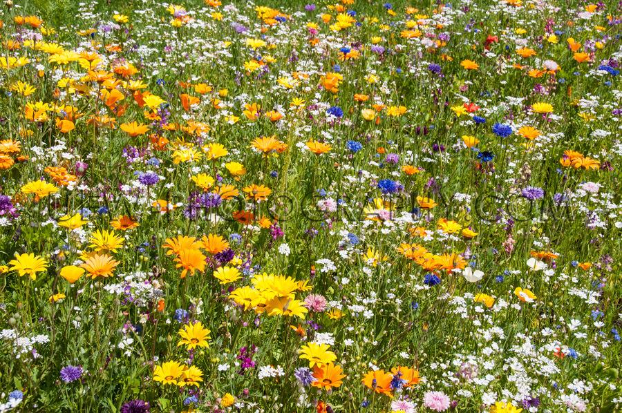 Üppige Bunte Blumenwiese Frühling Sommer Stock Foto