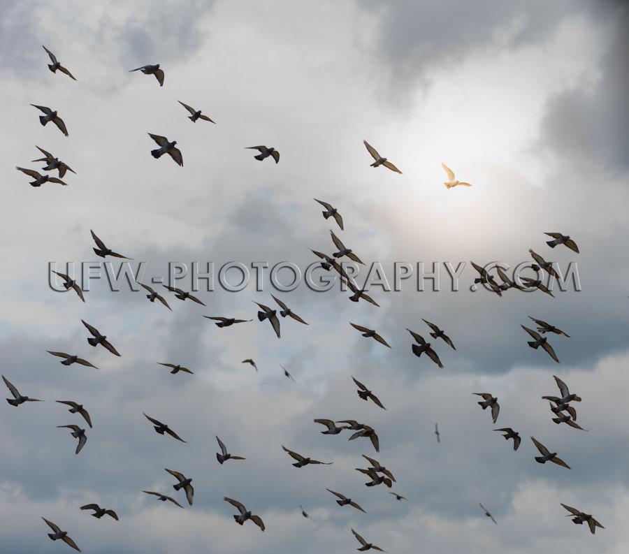 Weiße Taube Erleuchtet Hoffnung Schwarm Tauben Fliegen Dunkel B