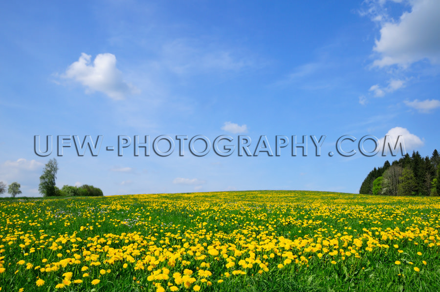 Frühlingswiese Gelb Löwenzahn Blüten Bäume Blauer Himmel Sto