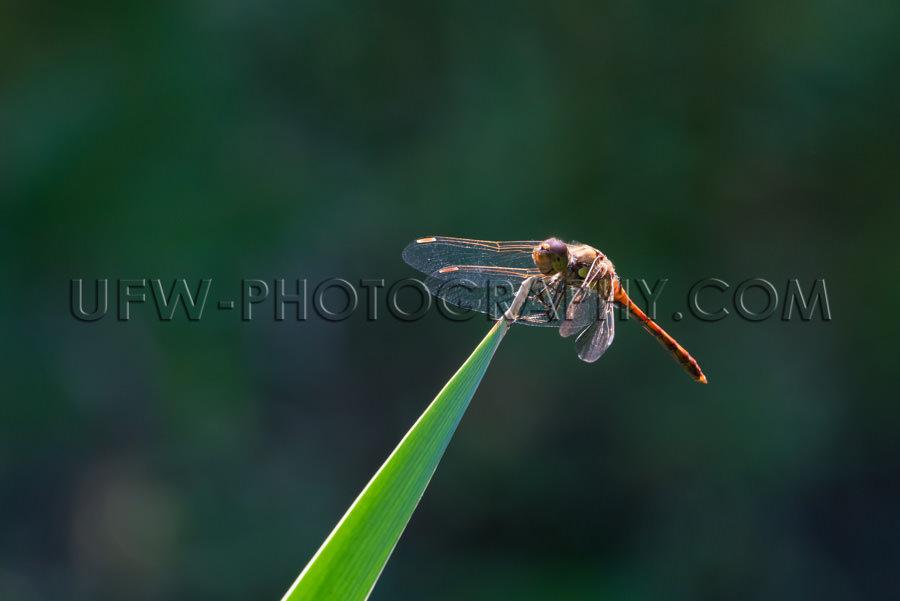 Schön Libelle Insekt Sitzt Blatt Flügel Unscharf Hintergrund S
