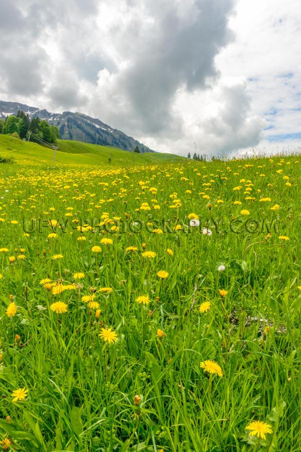 Bergwiese Löwenzahn Hügel Idyllisch Wolke Frühling Landschaft