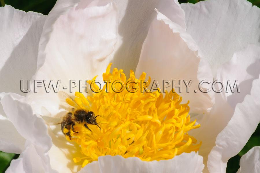 Biene Saugt Nektar aus einer weiß-gelben Pfingstrose Sichtbarer