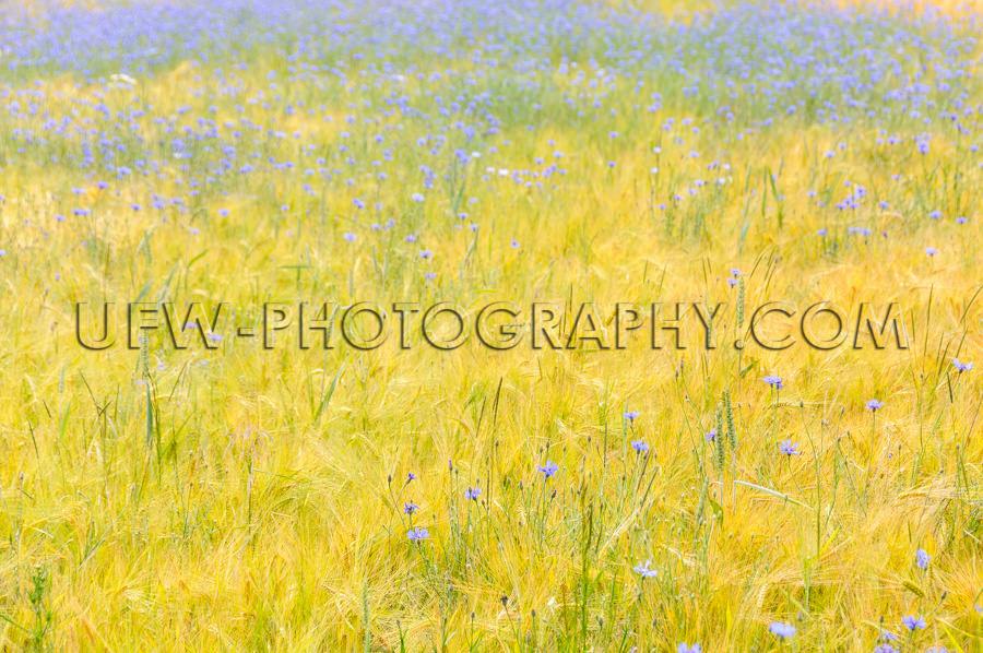 Golden Maisfeld Blau Kornblumen Malerisch Sanft Schönheit Stock