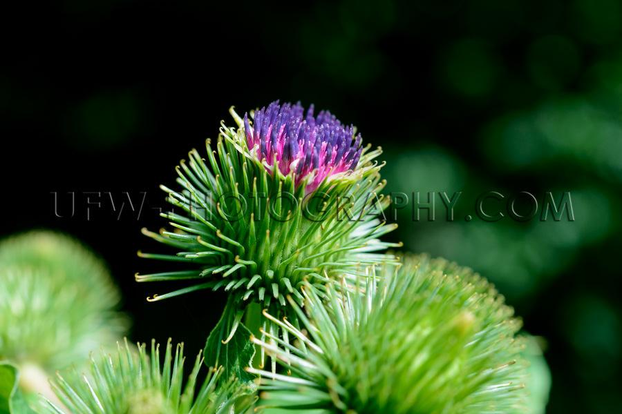 Grüne Distel Lila Blütenspitze Nahaufnahme Makro Stock Foto