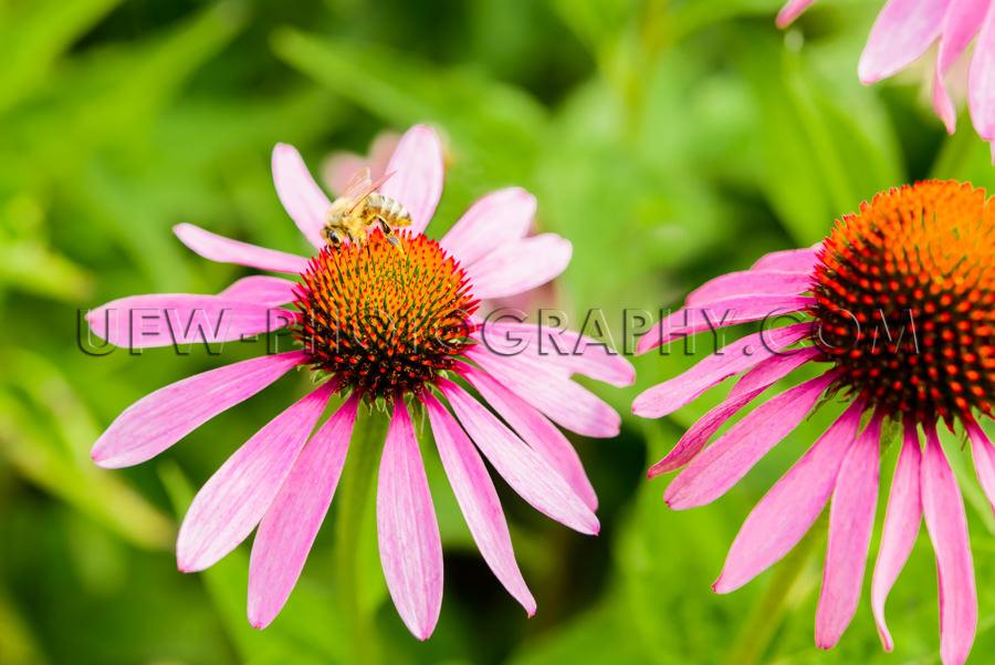 Makro Schön Blütenkopf Biene Blüte Echinacea Sonnenhut Stock