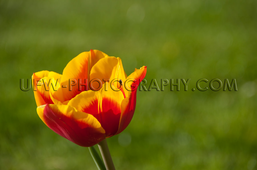 Rot-gelbe einzelne Tulpe Grün Hintergrundunschärfe Stock Foto