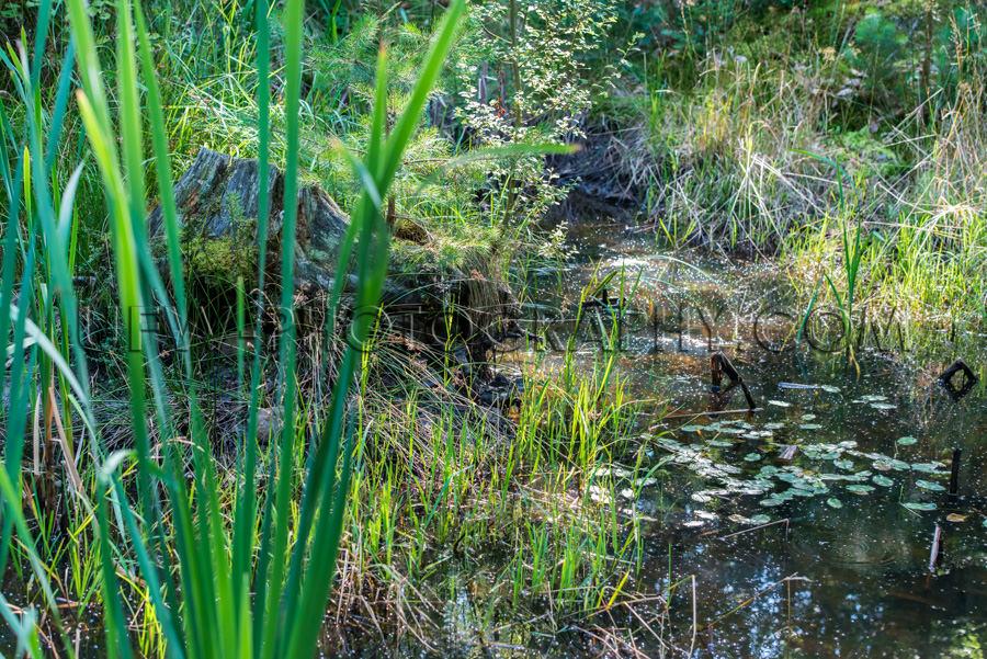 Schön Wildnis Teich Wald Baumstumpf Sumpf Pflanzen Stock Foto