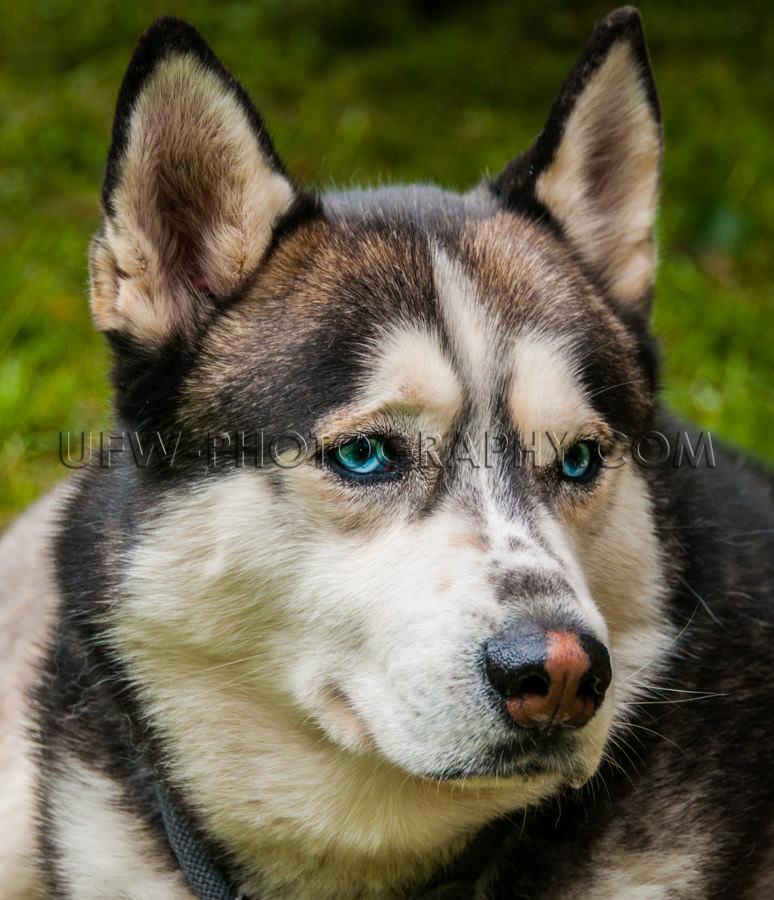 Husky Hundekopf Porträt Nahaufnahme Im Freien Blaue Augen Stock