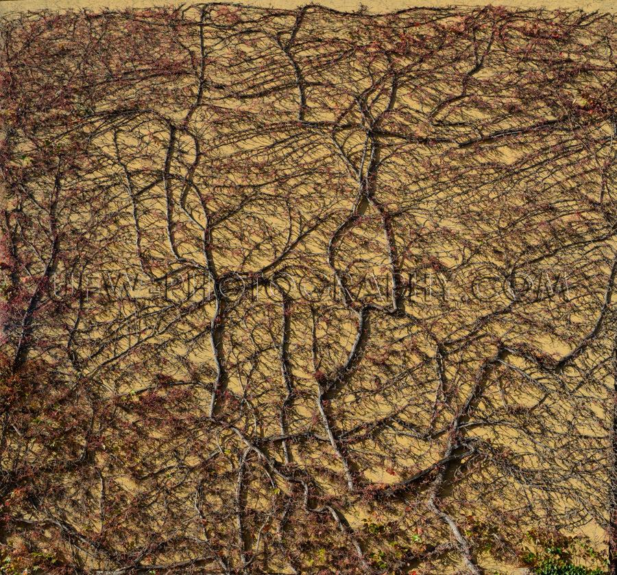 Mauer Überwachsen Zweige Efeu Rebe Kletterpflanze Pflanze Trock