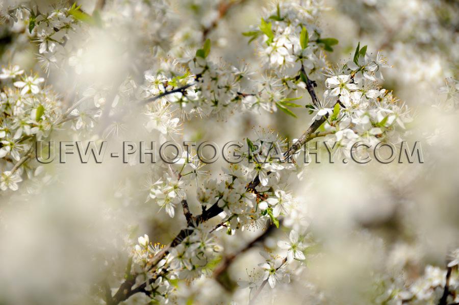 Wunderschöne Weiße Frühlingsblüten Sanft Märchen Verschwomm