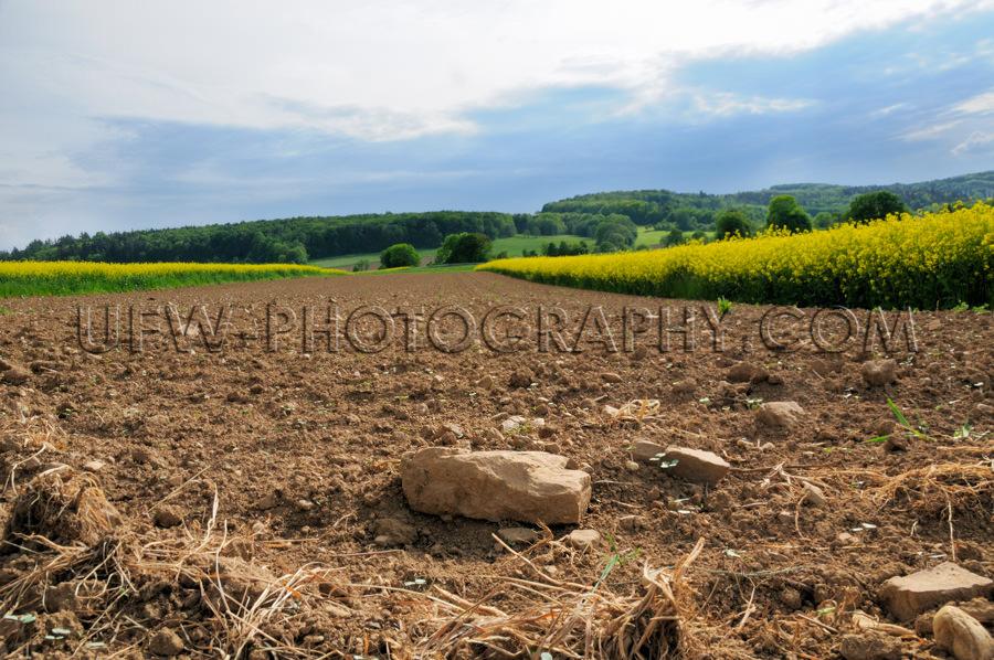Gepflügte Felsiger Acker Steinig Boden Zwischen Rapsfeldern Sto