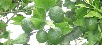 02.GardenofEden.mandarinoranges.jpg