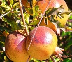04.GardenofEden.pomegranates.jpg