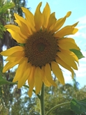 08.LaPaloma.sunflower.jpg