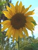 08.LaPaloma.sunflower.jpg