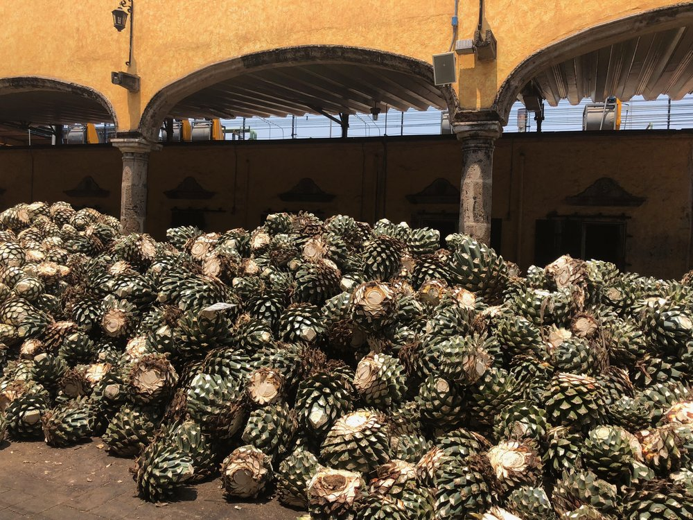 The agave plants after being harvested.