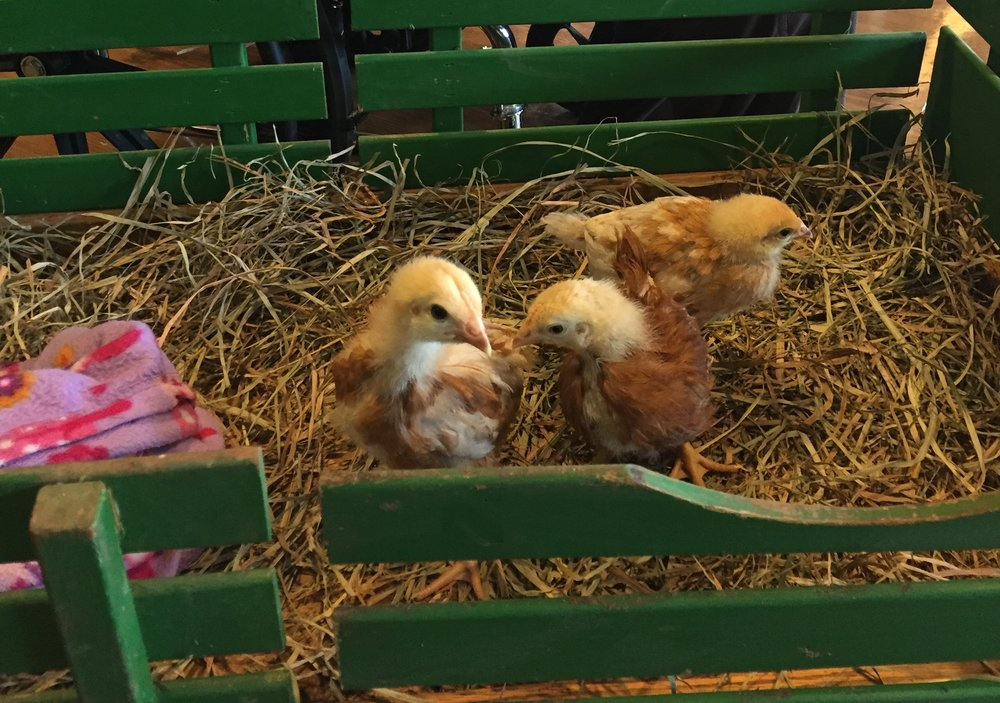 A-baby chicks.jpg