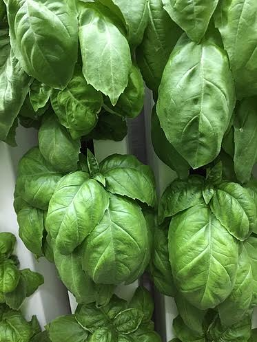 Tassinong Farms Basil