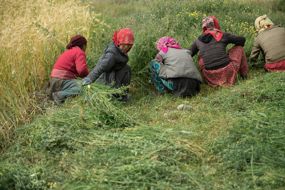 Women harvest peas in the village of Kumik in Zanskar, Kashmir. The villagers farm only portions of their land due to water scarcity caused by climate change. Teenage boys and men from the village are increasingly moving elsewhere for education and employment, leaving women and girls behind to manage the land and livestock. Young single men that have stayed back find it challenging to find a partner.
