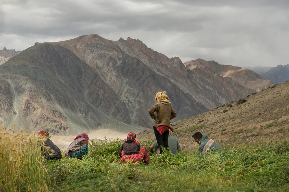 Stanzin Dayskon stands upright to take a break while her family continues to manually harvest peas at their farm in the village of Kumik in Zanskar, Kashmir. The decade long water crisis caused by climate change has weakened the self-sufficiency of the village. Many men and young boys are migrating elsewhere for education or employment. Villagers now face labor shortage and are forced to hire migrant workers or use modern mechanized farming methods.