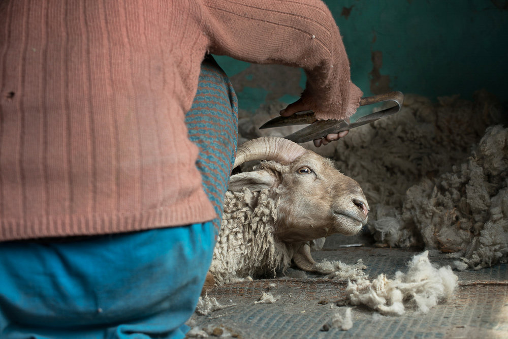 Soman Chasdon shears wool off a sheep using a manual shear in the village of Kumik in Zanskar, Kashmir. She uses centuries old methods of shearing, hand carding and spinning the wool to weave traditional Tibetan wool coats called Goncha. A severe drought in 2003 due to climate change forced villagers including Chasdon to sell off much of their livestock.