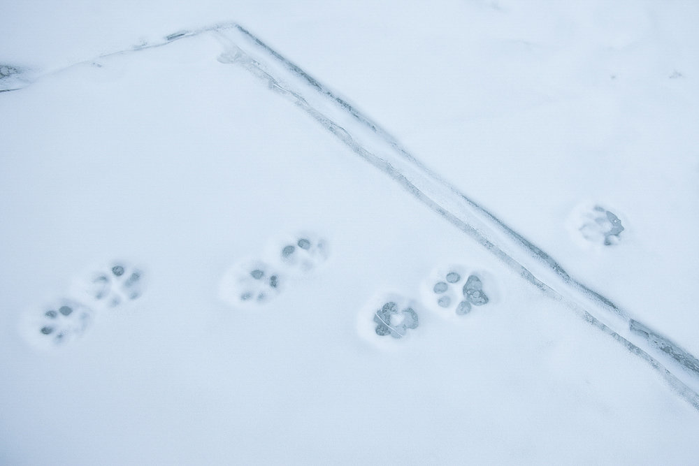 Snow leopard paw prints appear to traverse the trail taken by Zanskari men on the frozen Zanskar River, during winter. Climate change is likely to cause tree lines to shift and force farmers to graze livestock at higher altitudes, altering the habitat of snow leopards, increasing their conflict with humans. Global warming is changing the Himalayas faster than any other region of the world outside the polar caps.