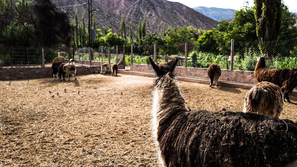 Look: Alpacas! At the Pucara de Tilcara.