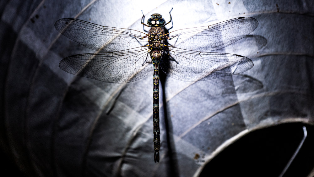 This dragonfly stayed in our room for a very long time, we got lucky; it seemed to like the camera.