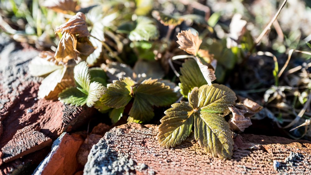 Strawberries survived the winter