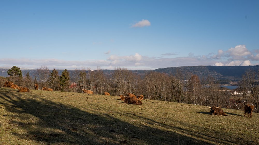 Since we were at Røyse, we took pictures of some long haired ginger cows!