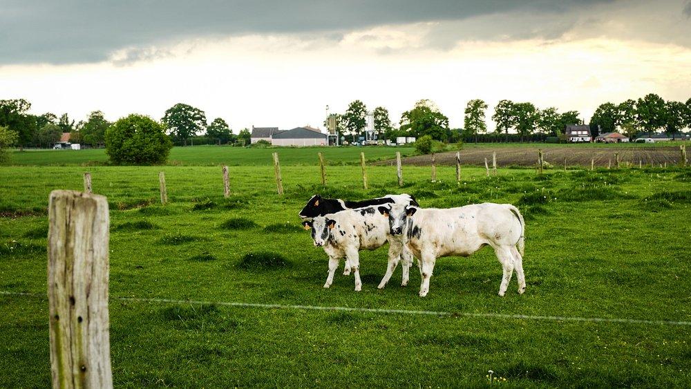 Pumped cows