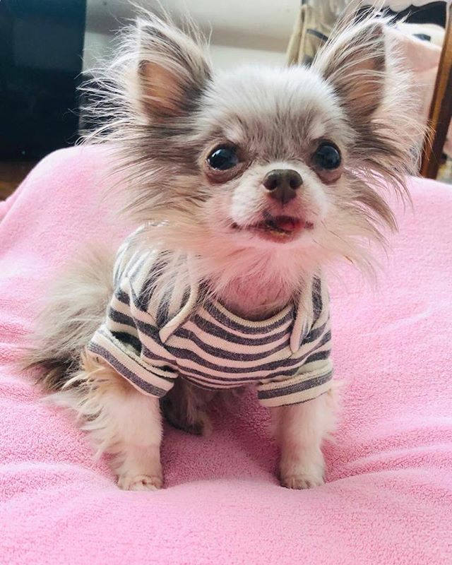 Hanging with my besties @bobobijou ❤️ #buttonnoses #gofundme #tinydog #toronto #teacup #alopecia #adoption #adorable #petsofinstagram #rescue #recovery #rescuedogs #chiwawa #chihuahua #blu #chichi #dogsoftoronto #happyfriday