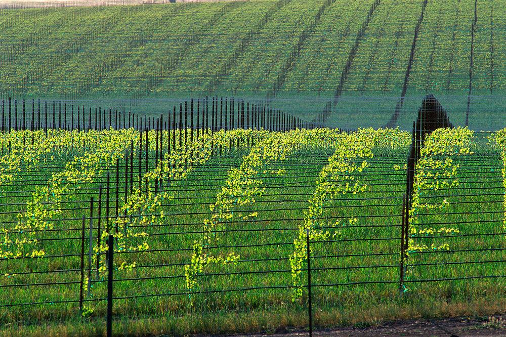 vineyard01CCcrop1200.jpg