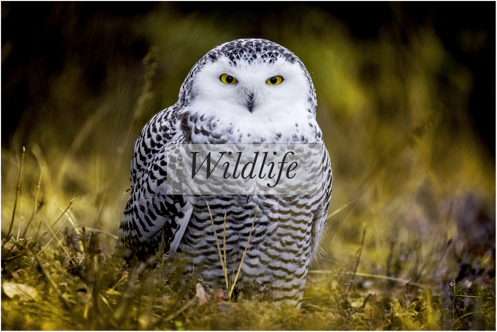 Title_wildlife-harfang-cadre.jpg