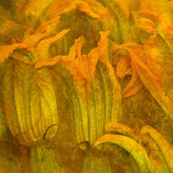 Fiori Zucca.Fiori Di Zucca Zucchini Flowers Giardini Di Sole