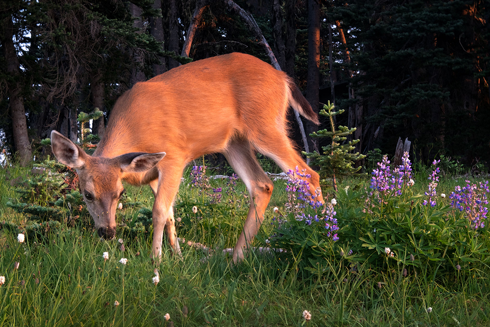 Deer-In-Meadow(1000px_for_web).jpg