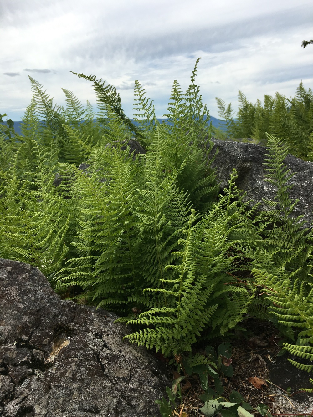 DAY 3: Appreciating Ferns at Mount Blue State Park