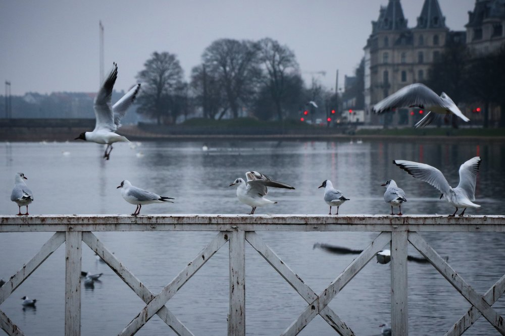©Erica Cirino. Black-headed gulls.