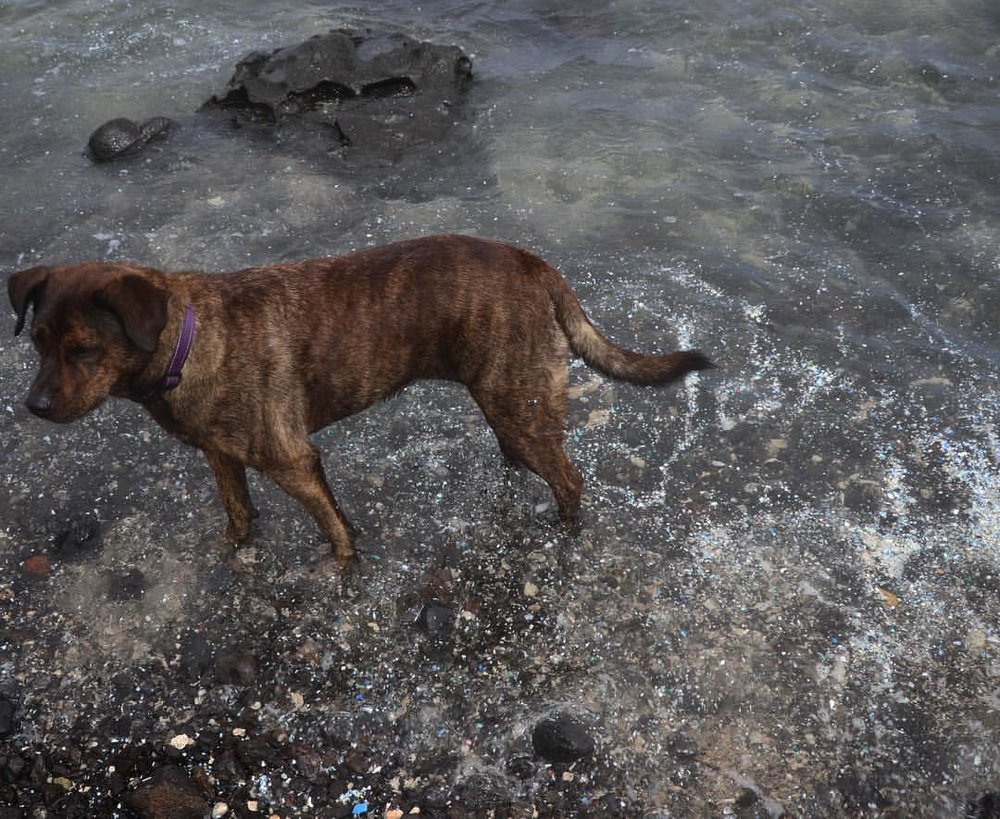 Dog standing in water filled with tiny plastic bits, which come from broken up large pieces of plastic. Kamilo Beach, Hawaii. November 2016.