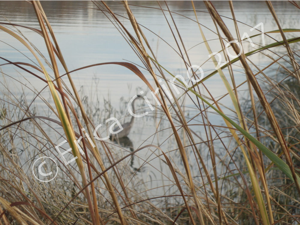 """""""Great Blue Heron"""" (Cold Spring Harbor,NY).8x10in. color photo print. $150.00"""