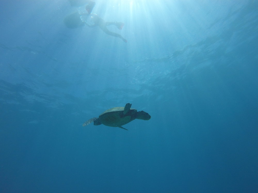 Green sea turtle and divers, Honolulu, Hawaii. August 2017. ©Erica Cirino