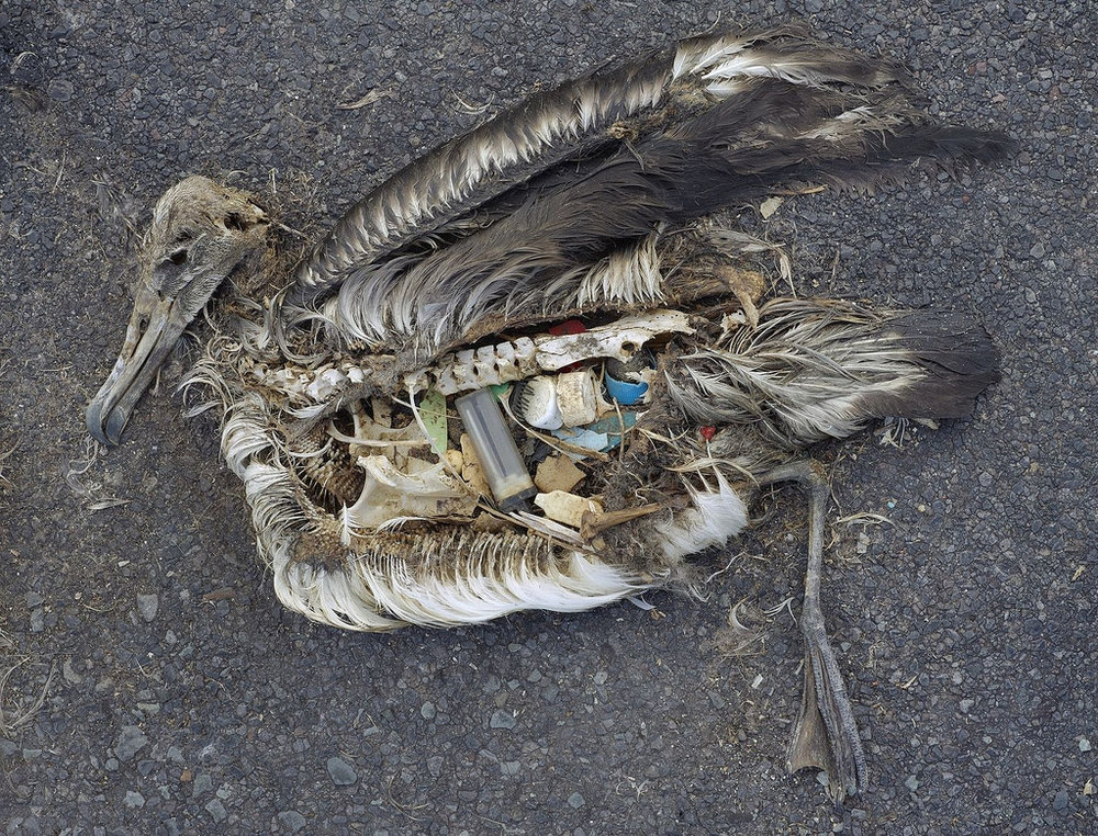 Deceased Laysan albatross filled with plastic on Midway Atoll. Photo: Chris Jordan