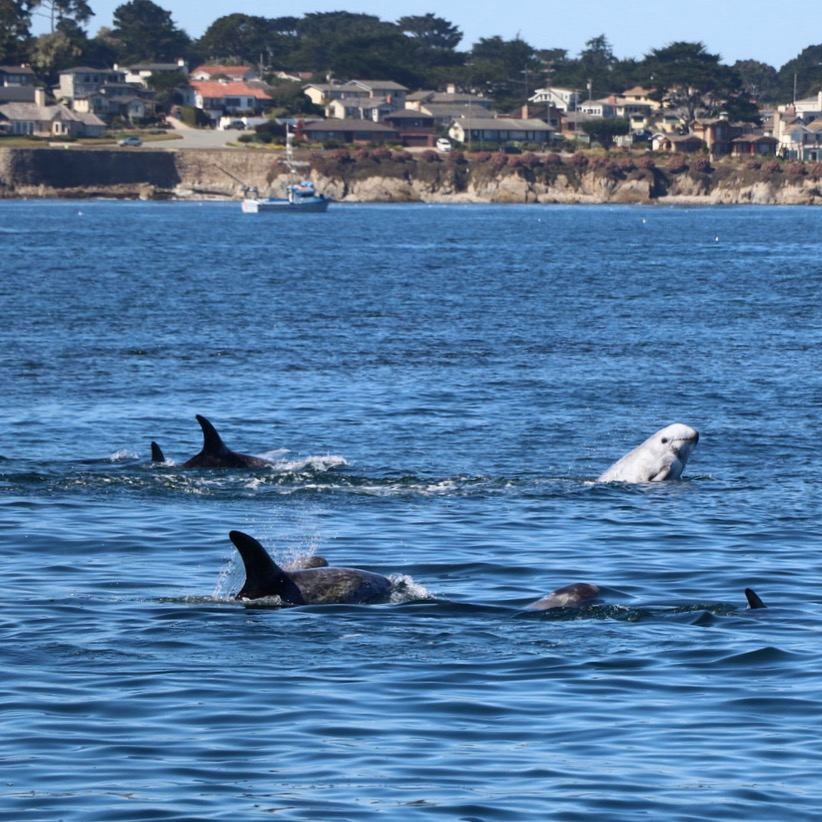 Risso's dolphins in Monterey Bay, off the coast of California. Photo: Erica Cirino