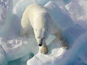 300px-Polarbearonice.jpg