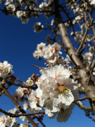 Cherry blossoms just coming out in Mudgee