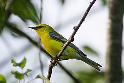 250px-Vermivora_cyanoptera_-North_Berwick,_Maine,_USA-8.jpg